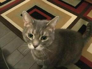 "Adult Female Cat - Tabby - Grey: ""Mitsy"""