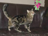 """Young Male Cat - Domestic Short Hair: """"ANDREW"""""""