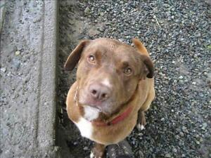 "Adult Male Dog - Labrador Retriever-Pit Bull Terrier: ""Rusty"""