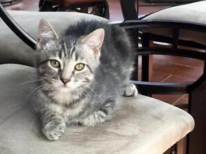 """Young Male Cat - Domestic Short Hair: """"Sparky"""""""