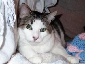"Adult Male Cat - Turkish Van-Tabby: ""Bandido"""