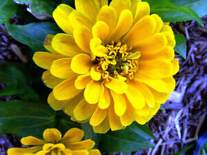 25 graines de zinnia jaune double zinnia elegans x140 yellow zinnia seeds samen ebay. Black Bedroom Furniture Sets. Home Design Ideas