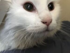 "Senior Male Cat - Domestic Medium Hair: ""Sami"""