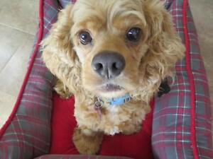 "Adult Male Dog - Cocker Spaniel: ""Theo"""