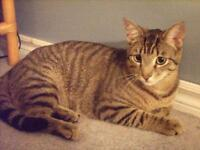 """Young Male Cat - Tabby - Brown-Domestic Short Hair: """"Mowgali"""""""