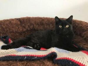"Young Male Cat - Domestic Short Hair: ""Duncan"""