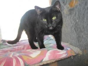 "Adult Male Cat - Domestic Short Hair-black: ""Johnny"""