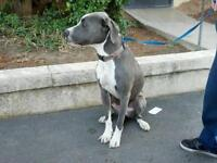 "Young Female Dog - Pit Bull Terrier-Great Dane: ""Zoe"""