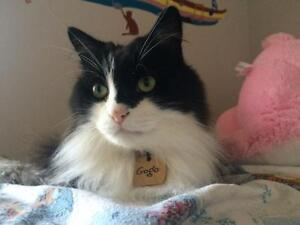 """Adult Male Cat - Domestic Long Hair-black and white: """"Gogo"""""""