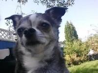 "Adult Female Dog - Chihuahua: ""Tina"""