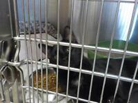 "Young Male Cat - Domestic Short Hair-black: ""Gunner"""
