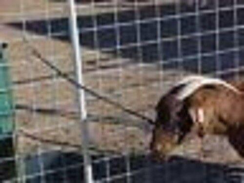 3,Halters for goats Boer, Sheep, Llama
