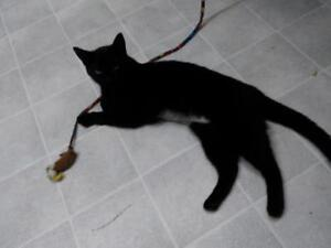 "Young Female Cat - Domestic Short Hair: ""Halfpipe"""