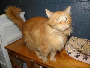 "Senior Male Cat - Domestic Long Hair: ""Mack"" Oakville / Halton Region Toronto (GTA) image 2"
