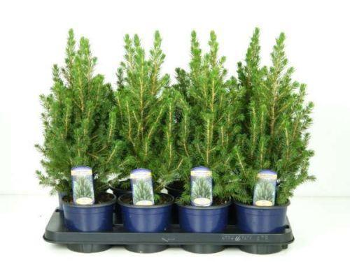 Real Christmas Trees In Pots
