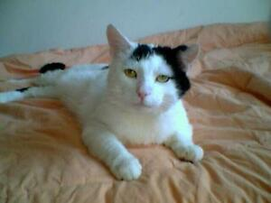 "Adult Male Cat - Domestic Short Hair-black and white: ""Jack"""