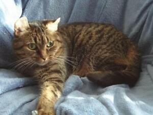 Senior Female  - Domestic Short Hair