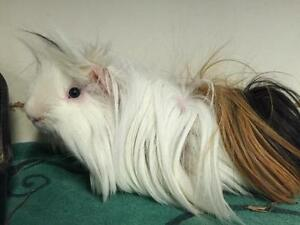 "Adult Male Small & Furry - Silkie/Sheltie: ""Napoleon & Kip"""