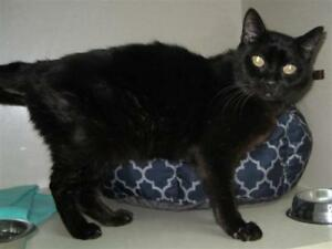 "Senior Male Cat - Domestic Short Hair: ""Doug"""