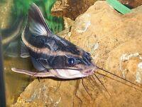 "striped raphael catfish Squeaking catfish 4"" for tropical fish tank aquarium kofh"
