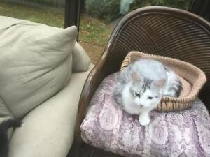 """Young Male Cat - Domestic Short Hair - gray and white: """"Max"""" West Island Greater Montréal image 2"""
