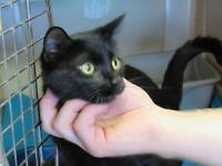 "Young Female Cat - Domestic Short Hair-black: ""Beatrice"""