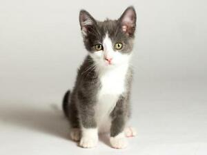 """Baby Male Cat - Domestic Short Hair (Gray & White): """"Parker"""""""