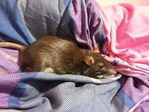 "Baby Male Small & Furry - Rat: ""Charlie"""