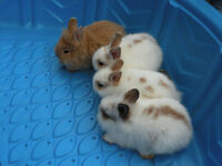 Free! Adorable Lion Head Bunnies!
