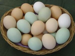 Fertilized Chicken Eggs For Sale