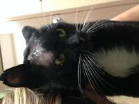"""Adult Male Cat - Domestic Short Hair: """"Frankie"""""""