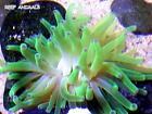 Live Coral Anemone