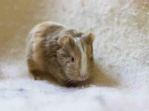 """Young Male Small & Furry - Guinea Pig: """"CHARLES"""""""