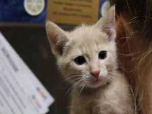 """Baby Male Cat - Domestic Short Hair: """"LOUIE"""""""