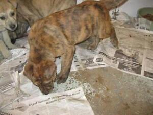 """Baby Male Dog - Boxer-Labrador Retriever: """"Pike"""""""