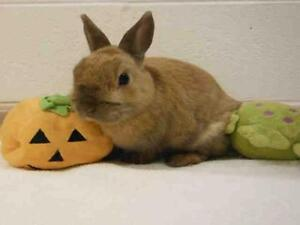 "Adult Male Rabbit - Netherland Dwarf: ""SNOWBALL"""