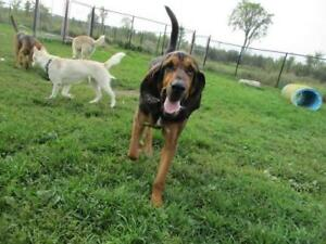 "Adult Male Dog - Bloodhound: ""Buford"""