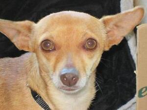 "Adult Female Dog - Chihuahua: ""Judy"""