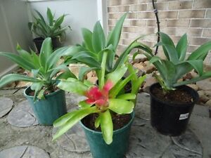AGAVES AND BROMELAID Currimundi Caloundra Area Preview