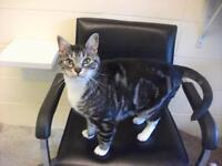 "Adult Male Cat - Domestic Short Hair: ""Shadow"""