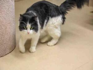 "Adult Male Cat - Domestic Medium Hair: ""SNOOKUMS"""