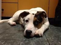 "Young Male Dog - American Bulldog: ""Patrick"""