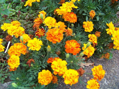 marigold, SPARKY MIX, french marigold, 50 seeds! GroCo