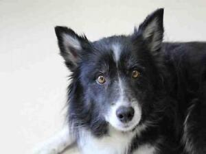 "Adult Female Dog - Border Collie-American Eskimo Dog: ""BINDI"""