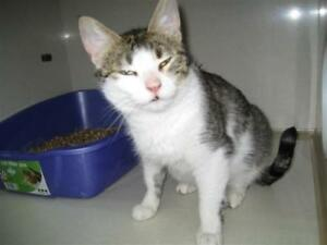 "Young Female Cat - Domestic Short Hair: ""Clarice"""