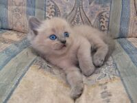 MINK RAGDOLL KITTENS-TICA REGISTERED