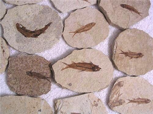 Knightia fossil fish Wyoming USA 1 fish fossil plate per winner Eocene