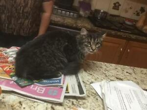 Young Female  - Domestic Long Hair-black-Tabby - black