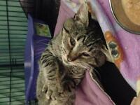 """Adult Male Cat - Tabby - black: """"Emerson"""""""