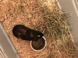 """Young Male Small & Furry - Guinea Pig: """"Frizze"""""""